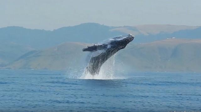 40 тонн грации и прыти: впервые сняли на видео, как горбатый кит полностью выпрыгивает из воды