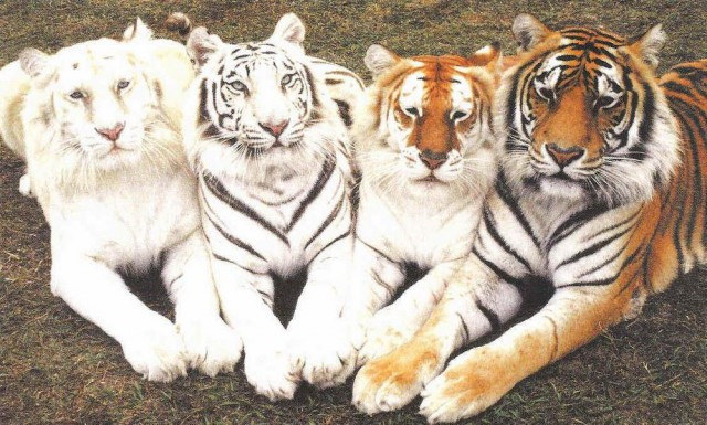 Четыре тигра