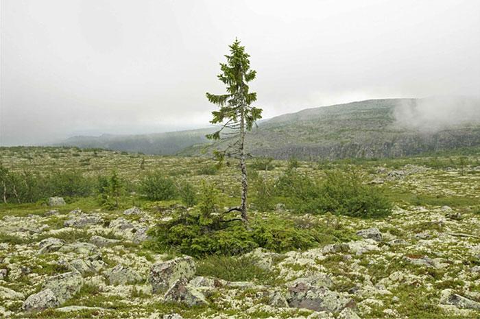 Ель «Старый Тикко» – самому старому дереву в мире 9550 лет-14