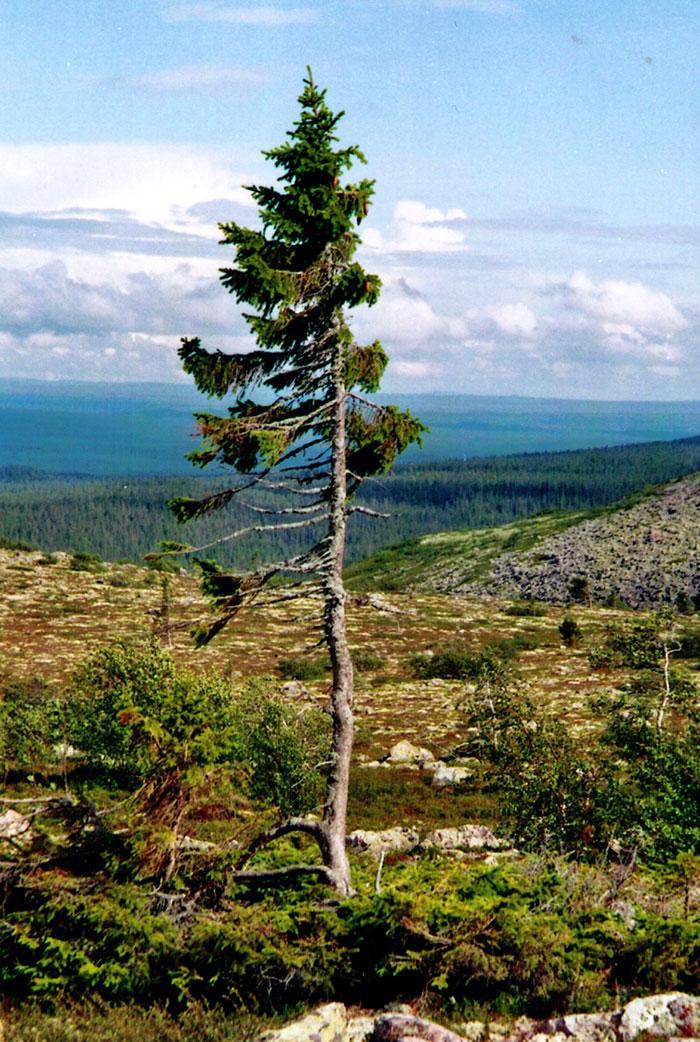 Ель «Старый Тикко» – самому старому дереву в мире 9550 лет-18