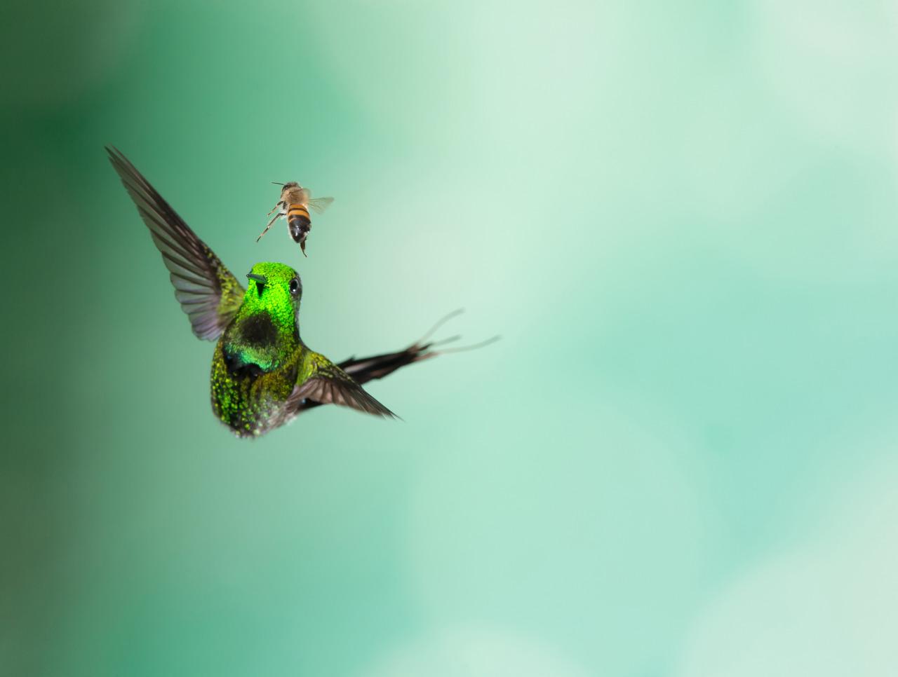 zelyonyi kolibri