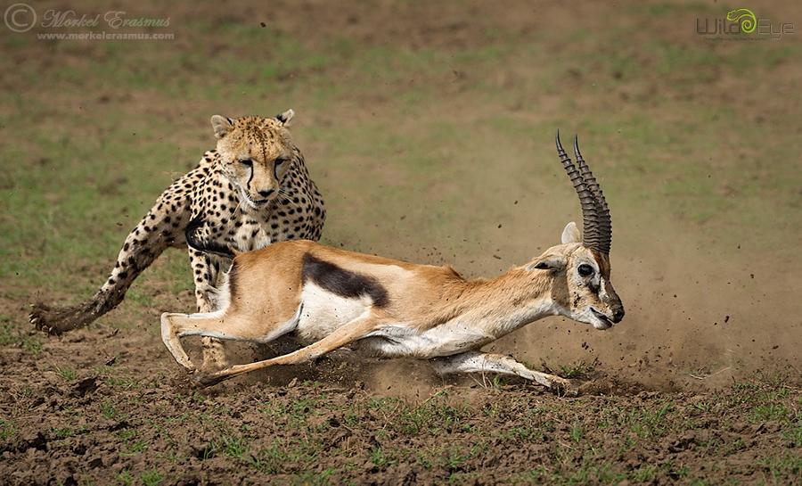 Охота гепарда на газель – захватывающие кадры из мира дикой природы 3