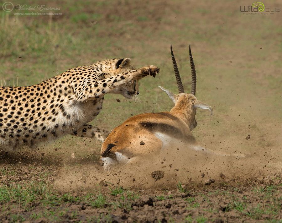 Охота гепарда на газель – захватывающие кадры из мира дикой природы 4
