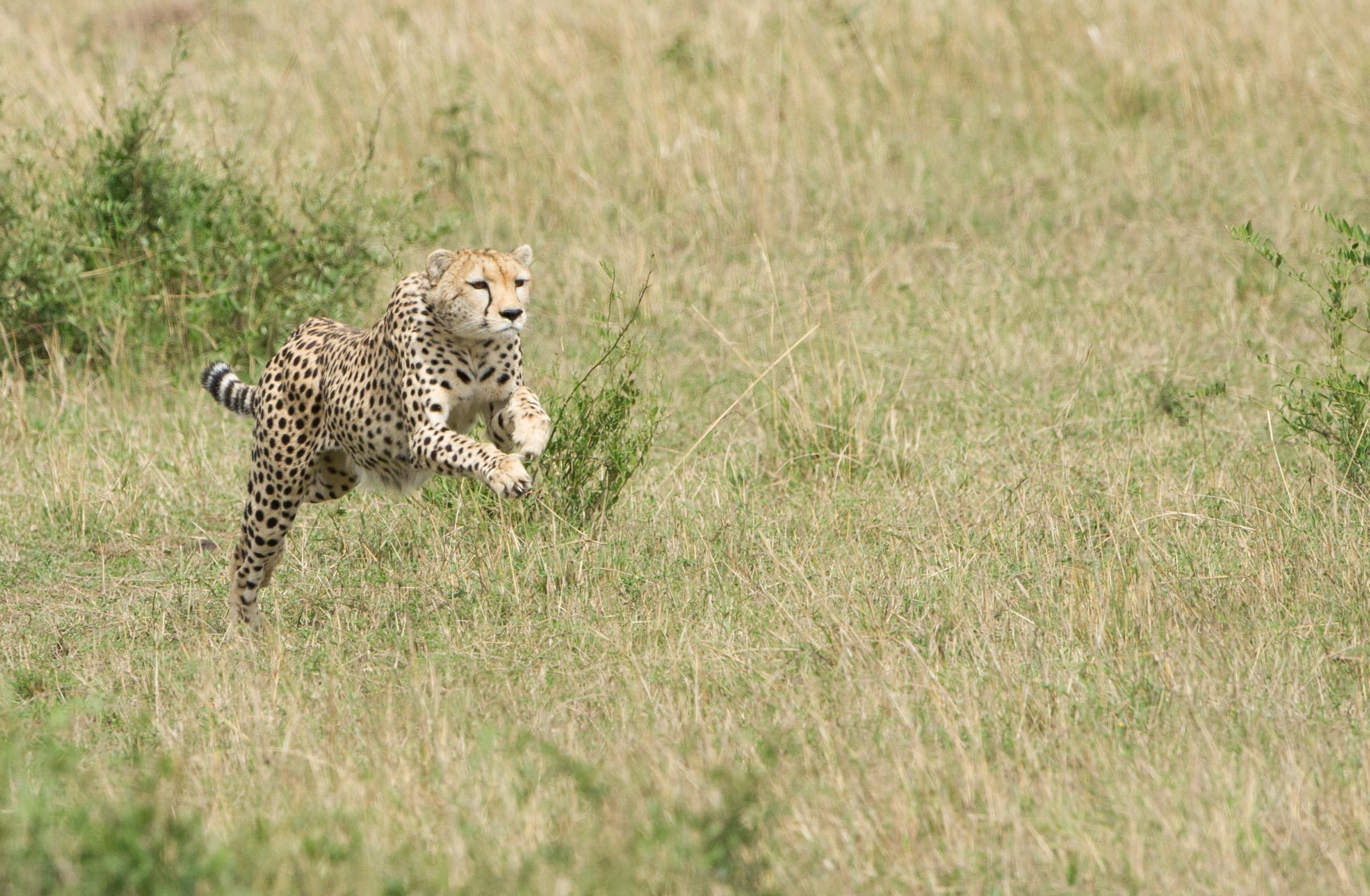 Охота гепарда на газель – захватывающие кадры из мира дикой природы 2
