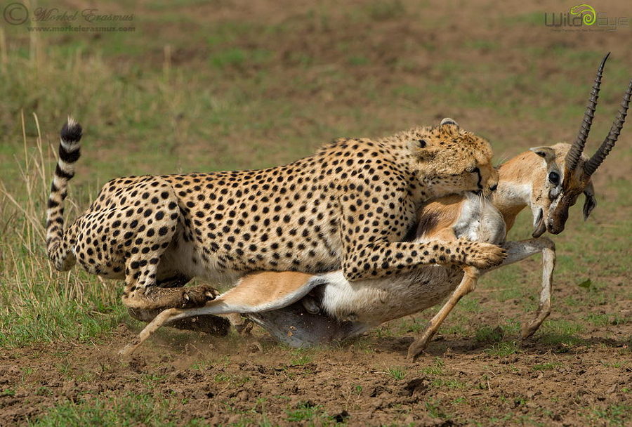 Охота гепарда на газель – захватывающие кадры из мира дикой природы 6