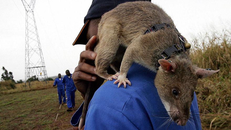 Героические крысы находят мины по запаху и спасают людей-13