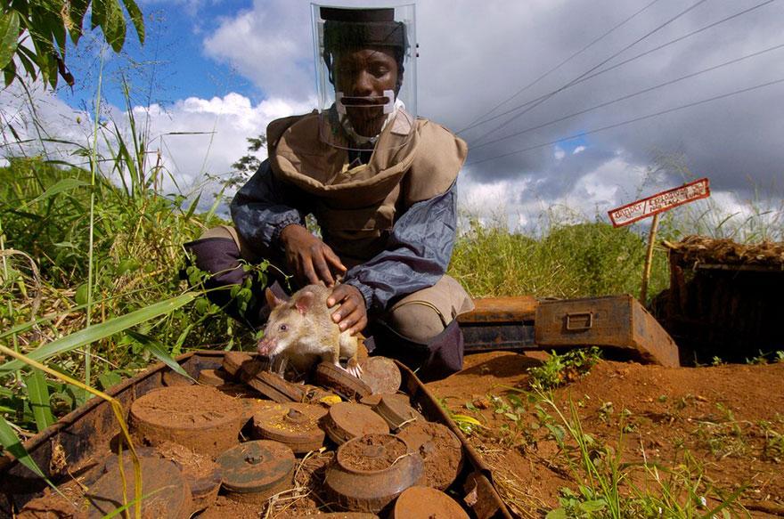 Героические крысы находят мины по запаху и спасают людей-10
