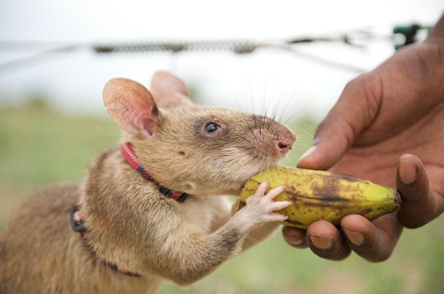 Героические крысы находят мины по запаху и спасают людей-24
