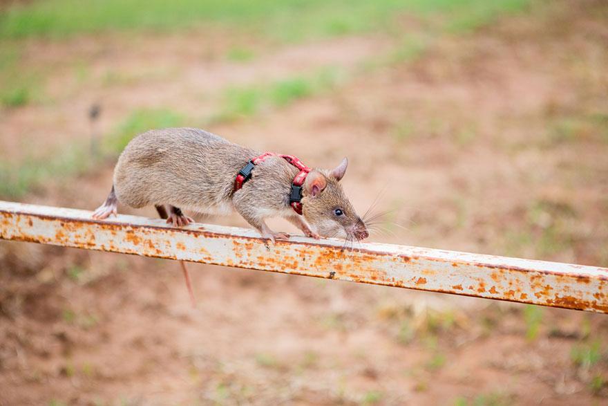 Героические крысы находят мины по запаху и спасают людей-20