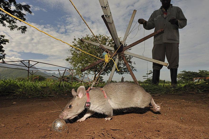 Героические крысы находят мины по запаху и спасают людей-2