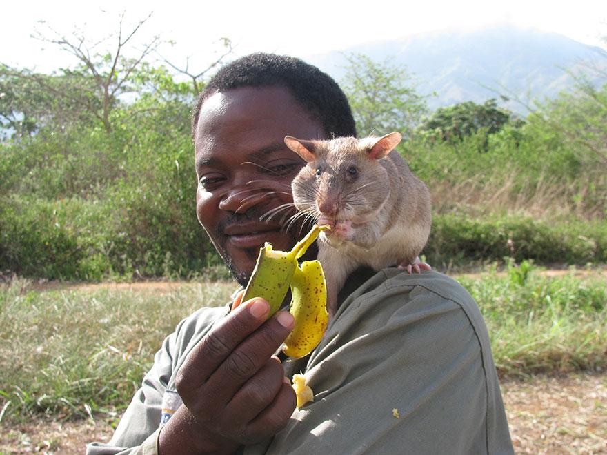 Героические крысы находят мины по запаху и спасают людей-28