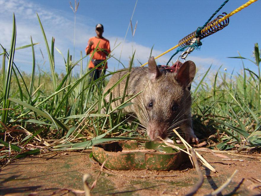 Героические крысы находят мины по запаху и спасают людей-27