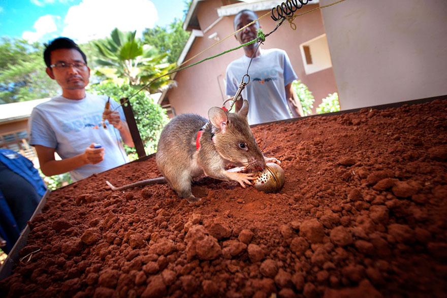 Героические крысы находят мины по запаху и спасают людей-22