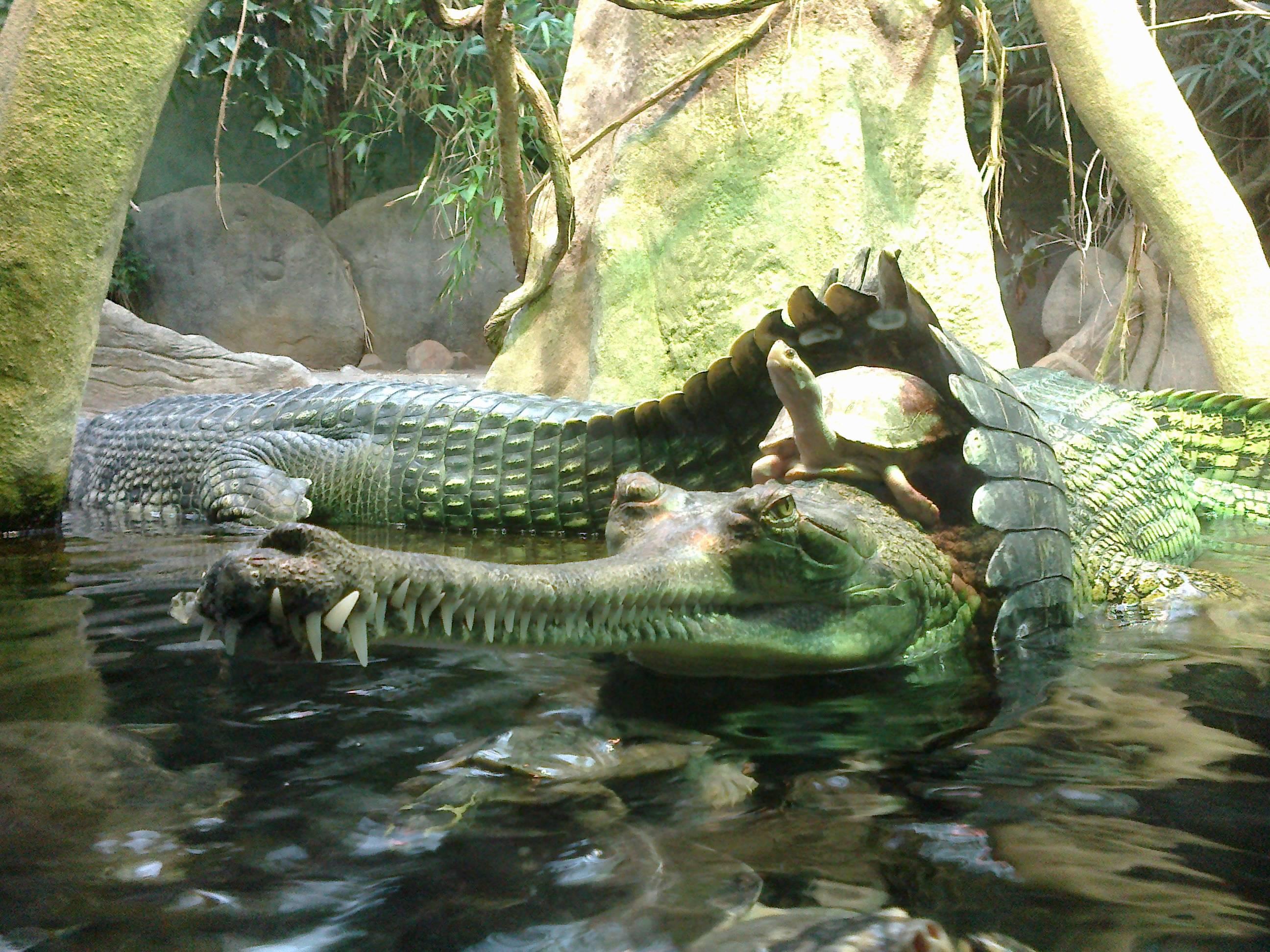 cherepaha na krokodile foto