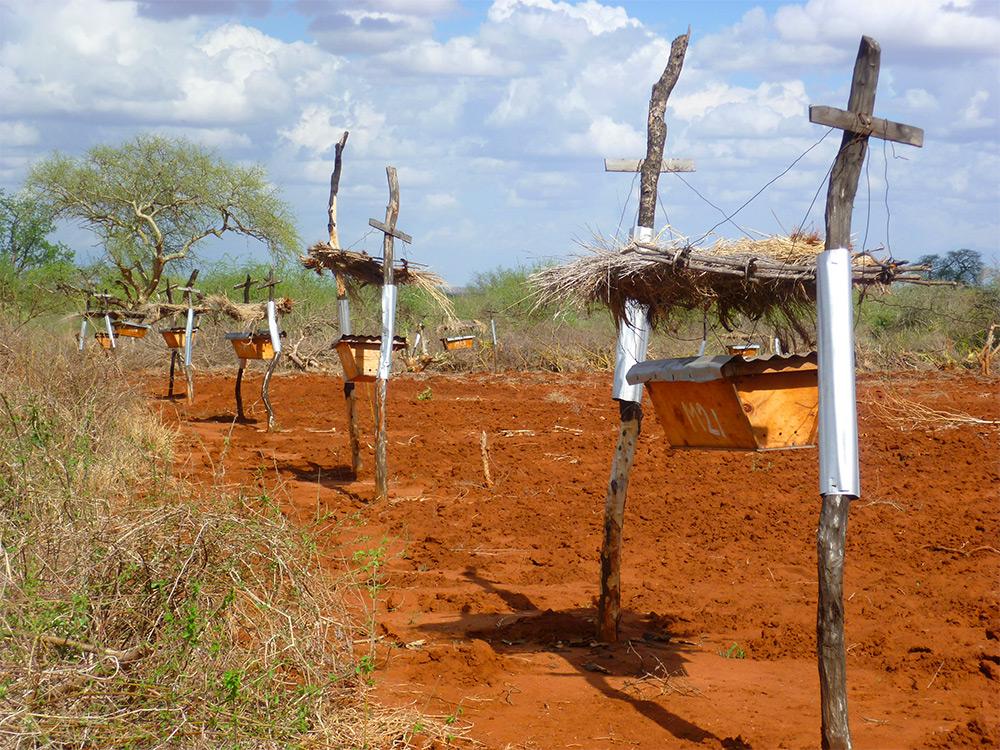 pchely zaschischayut fermerskie hozyaystva ot slonov v Afrike 1