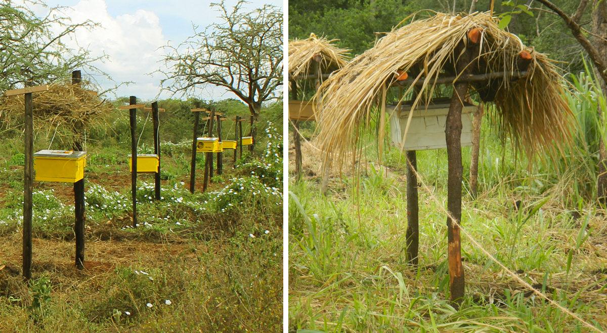 pchely zaschischayut fermerskie hozyaystva ot slonov v Afrike 2