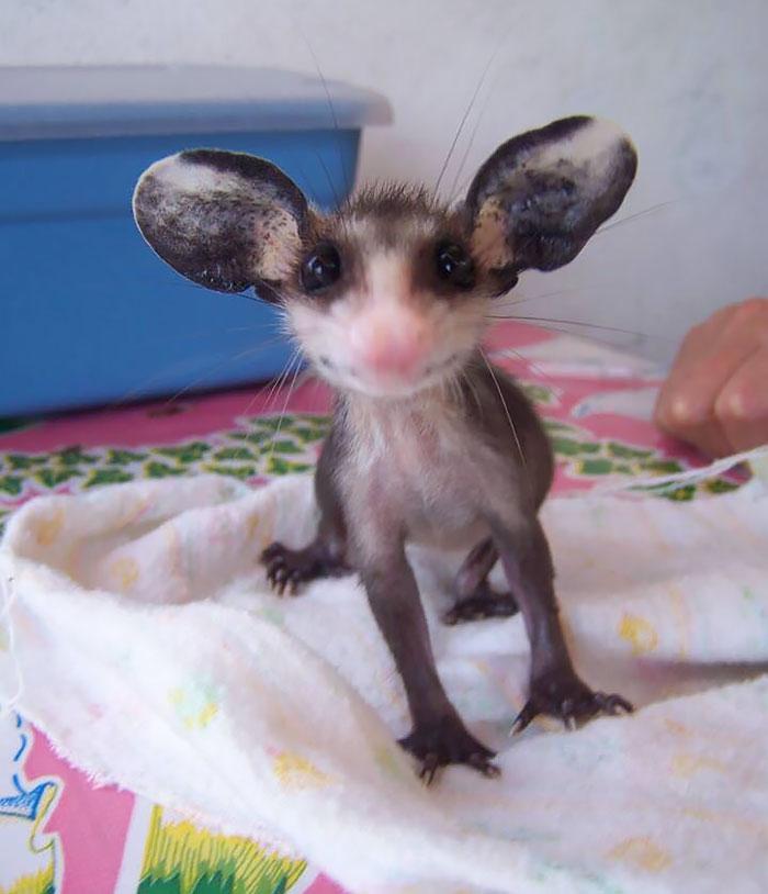 fotografii-possumov-i-opossumov_6.jpg