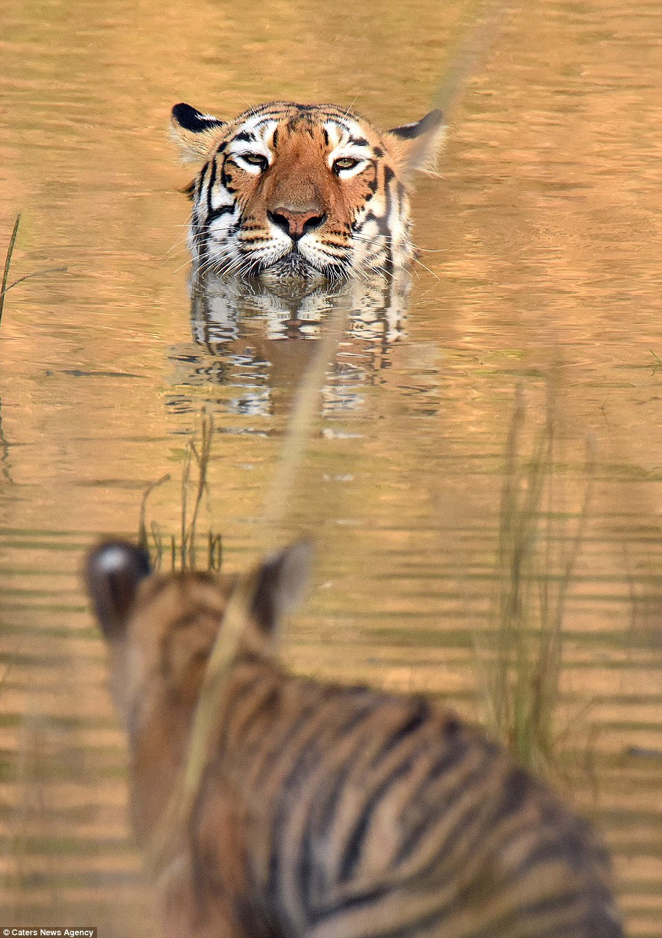 tigritsa kupaet tigrenka foto 1