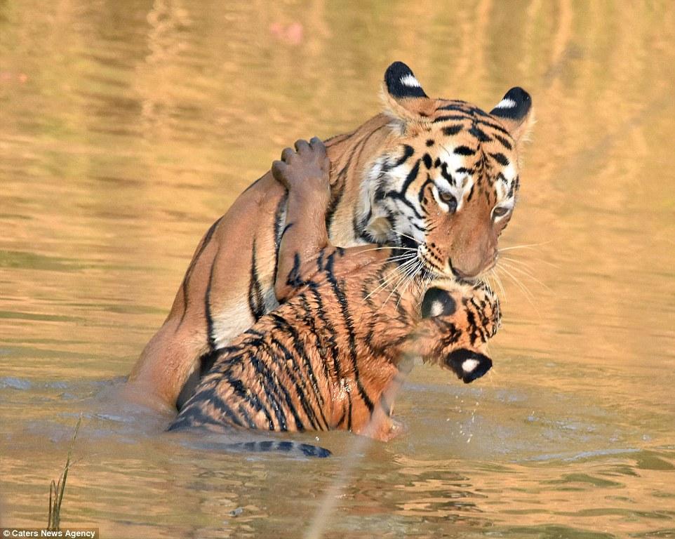 tigritsa kupaet tigrenka foto 5