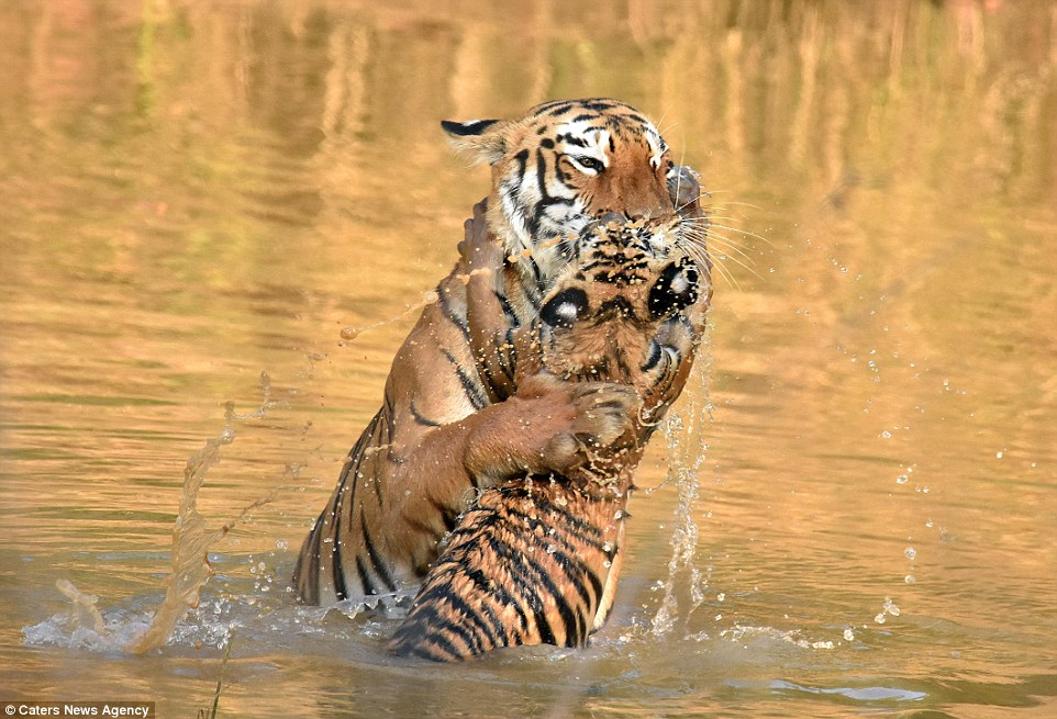 tigritsa kupaet tigrenka foto 6