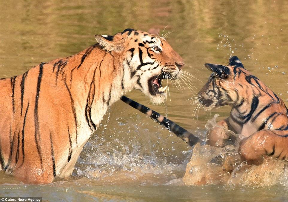 tigritsa kupaet tigrenka foto 7