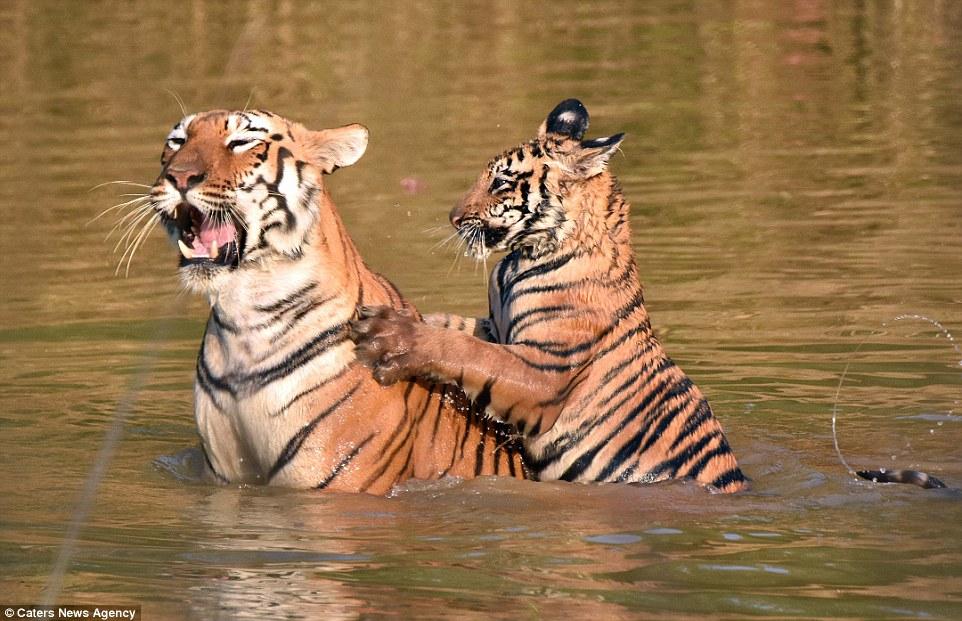 tigritsa kupaet tigrenka foto 8