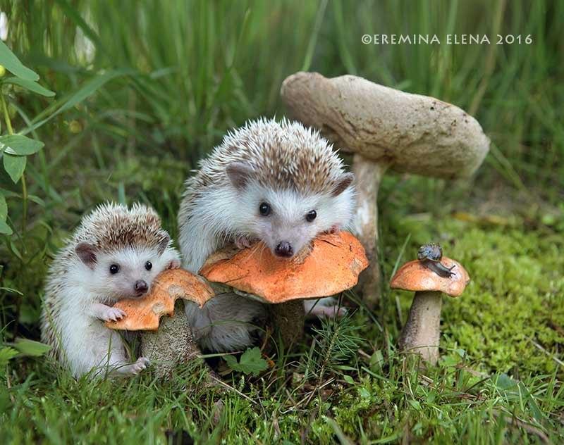 Ёжики. Фотограф Елена Еремина 31