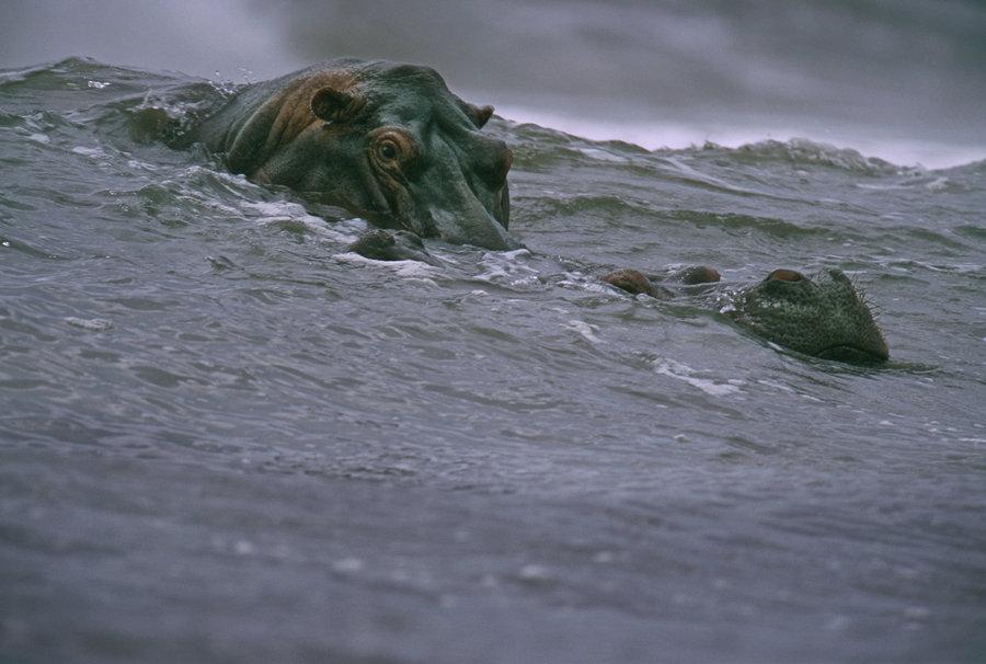 Surfing Hippos Michael Nichols 2000