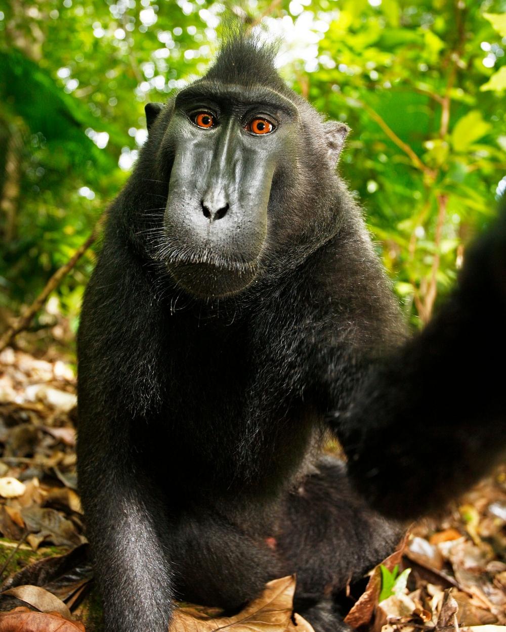 Фотограф Дэвид Слейтер разорился, судясь с обезьяной за авторское право на её снимок  2