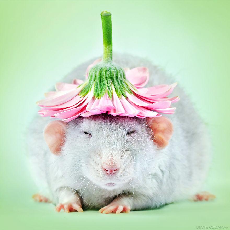 Фотографии домашних крыс Диана Оздамар 1