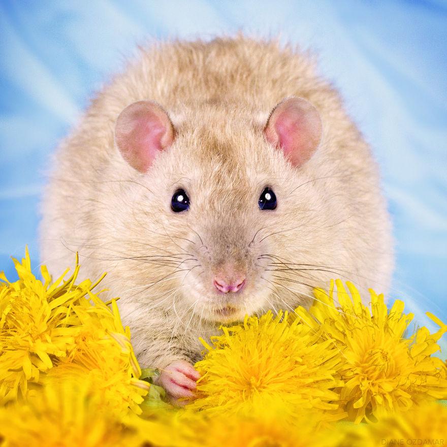 Фотографии домашних крыс Диана Оздамар 10