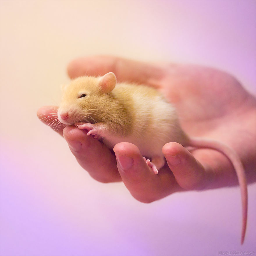 Фотографии домашних крыс Диана Оздамар 13