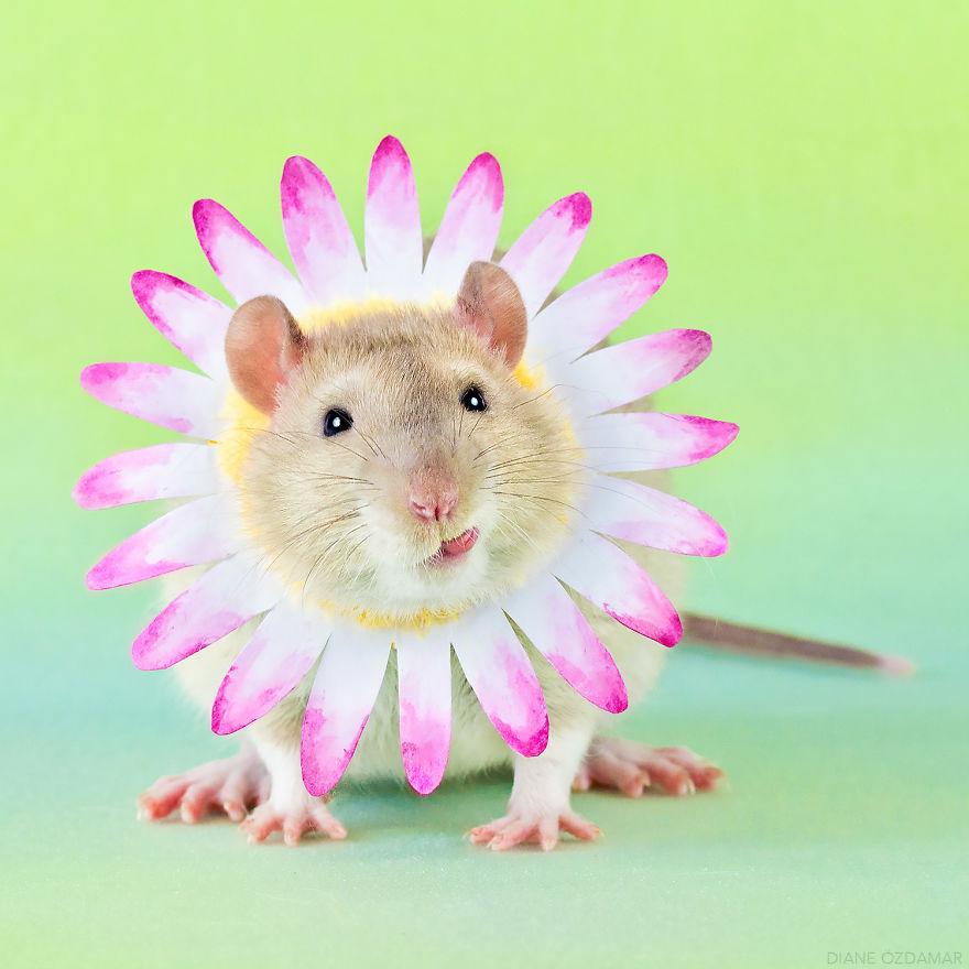 Фотографии домашних крыс Диана Оздамар 14