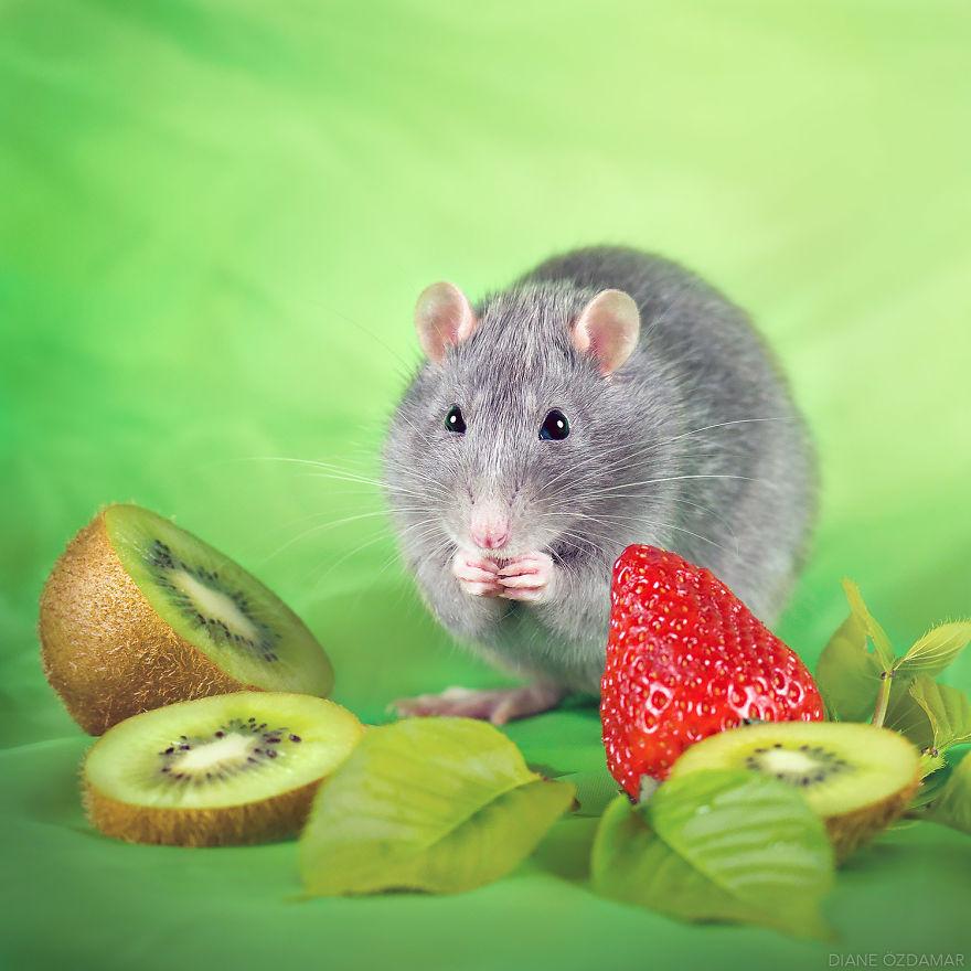 Фотографии домашних крыс Диана Оздамар 15