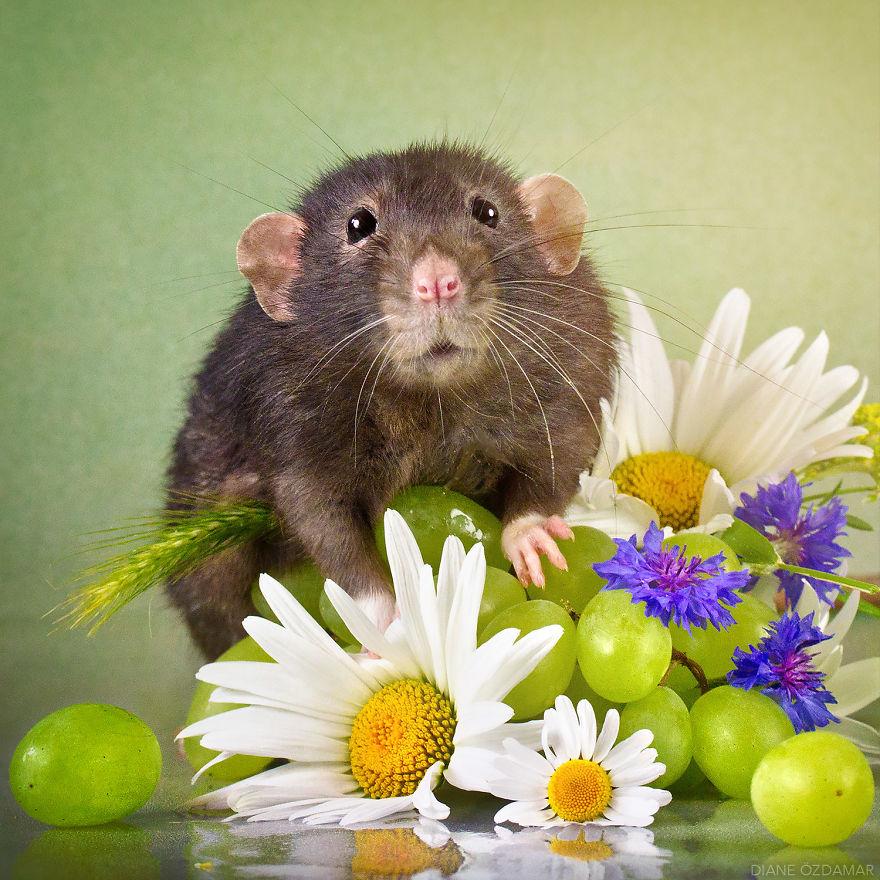 Фотографии домашних крыс Диана Оздамар 16