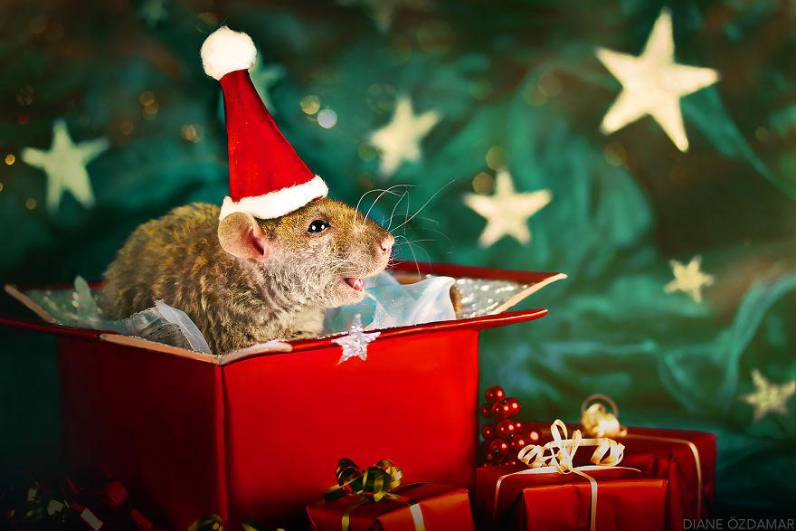 Фотографии домашних крыс Диана Оздамар 17