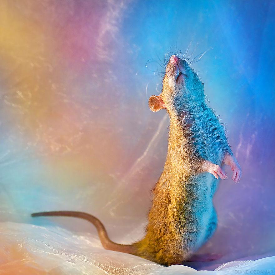 Фотографии домашних крыс Диана Оздамар 18