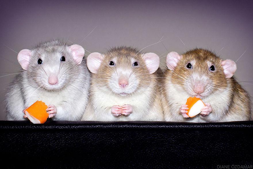 Фотографии домашних крыс Диана Оздамар 2