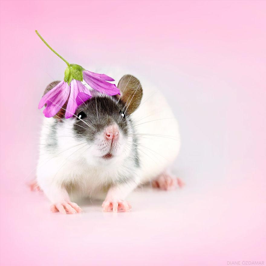 Фотографии домашних крыс Диана Оздамар 21