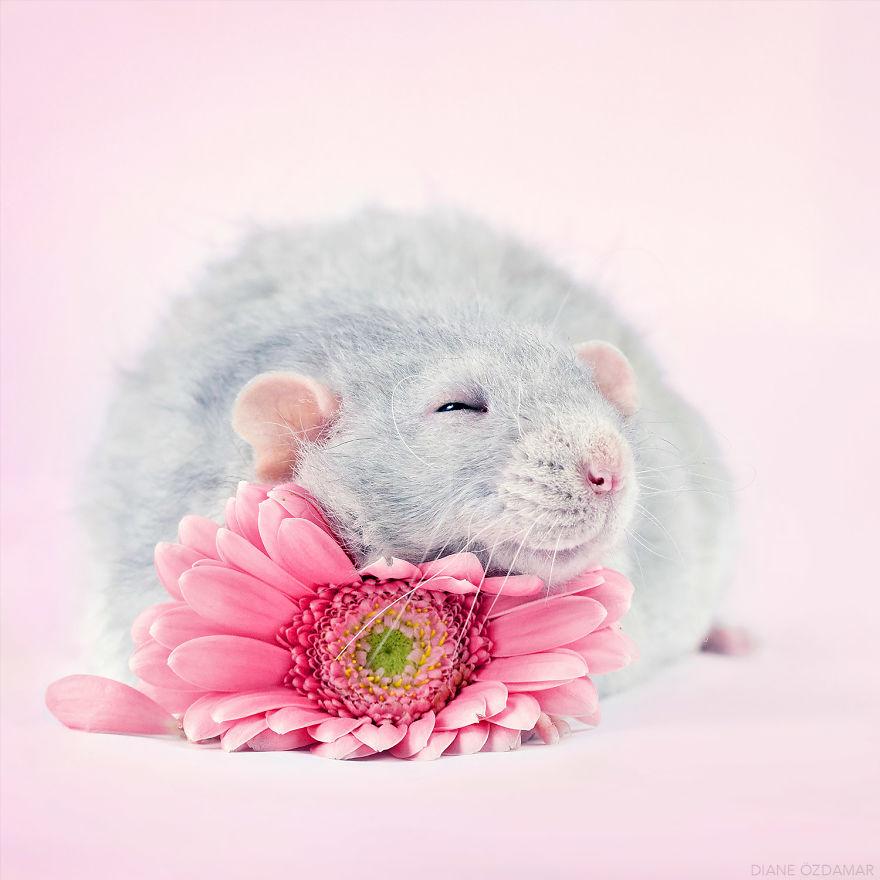 Фотографии домашних крыс Диана Оздамар 3