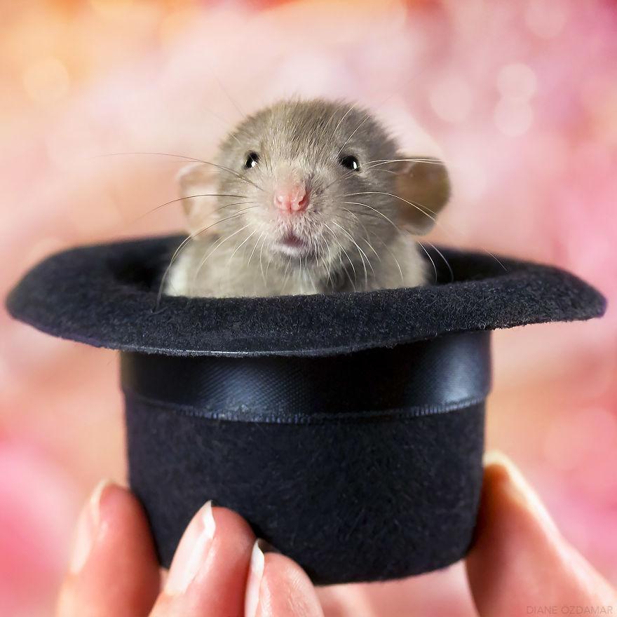Фотографии домашних крыс Диана Оздамар 4