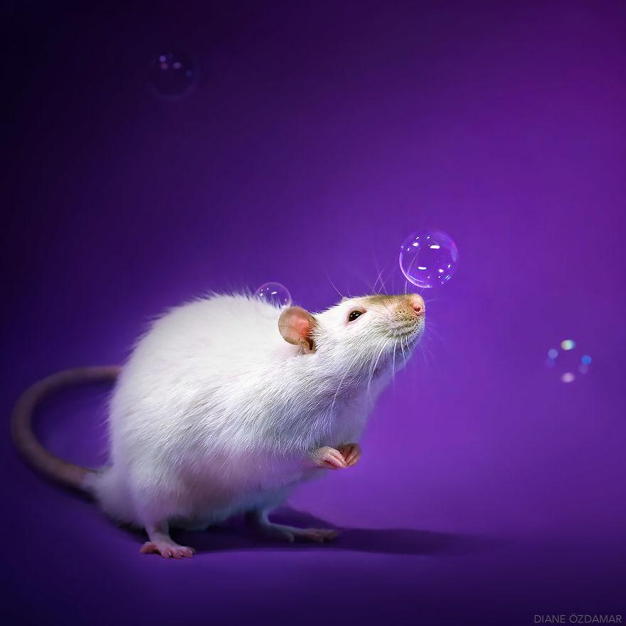 Фотографии домашних крыс Диана Оздамар 7