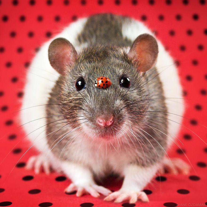Фотографии домашних крыс Диана Оздамар 8