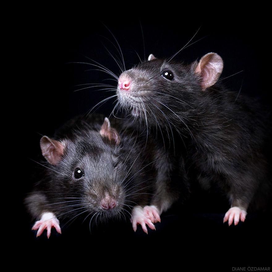 Фотографии домашних крыс Диана Оздамар 9