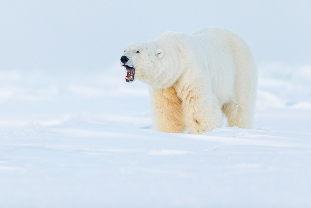 Ghosts of the Arctic: polar bears, reindeers and stunning landscapes of the polar archipelago 3
