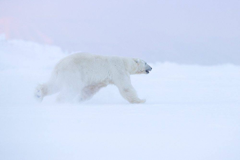 Ghosts of the Arctic: polar bears, reindeers and stunning landscapes of the polar archipelago 4