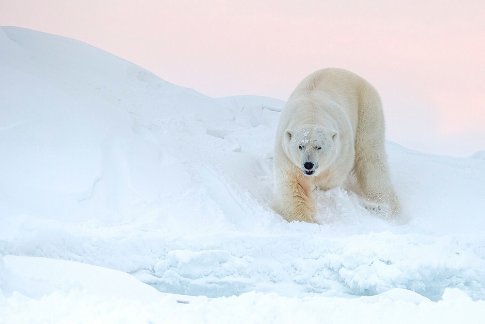 Ghosts of the Arctic: polar bears, reindeers and stunning landscapes of the polar archipelago 5