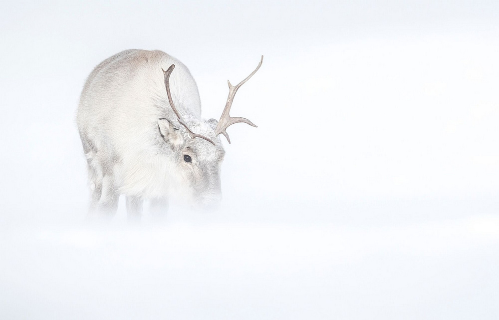 Ghosts of the Arctic: polar bears, reindeers and stunning landscapes of the polar archipelago 7