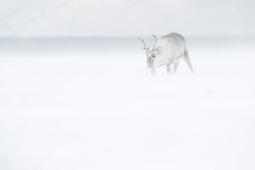 Ghosts of the Arctic: polar bears, reindeers and stunning landscapes of the polar archipelago 8