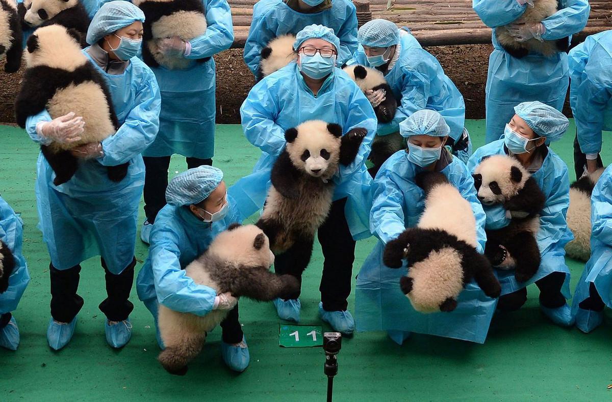 Питомник панд в Китае 2